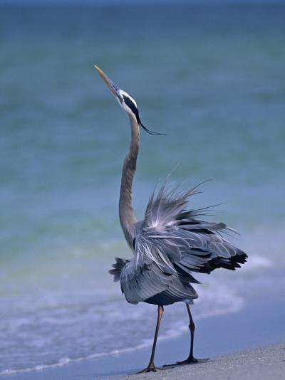Great Blue Heron Threat Display, Ardea Herodias, North America-Arthur Morris-Photographic Print