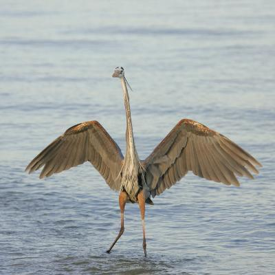 Great Blue Heron Wading in Water with its Wings Spread, Ardea Herodias, Sanibel, Florida, USA-Arthur Morris-Photographic Print