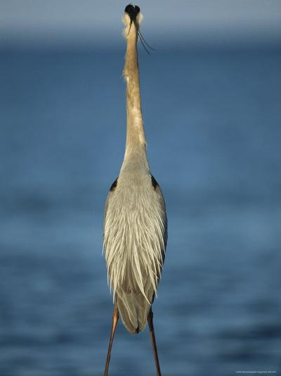 Great Blue Heron Walks in the Sand-Klaus Nigge-Photographic Print