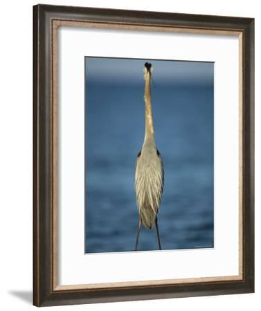 Great Blue Heron Walks in the Sand-Klaus Nigge-Framed Photographic Print