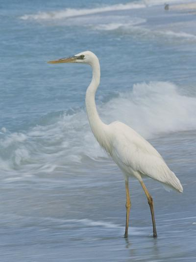 Great Blue Heron, White Morph, Florida-Roy Toft-Photographic Print