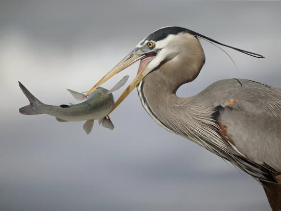 Great Blue Heron with Catfish., Ardea Herodias-Arthur Morris-Photographic Print