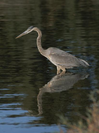 Great Blue Heron-Marc Moritsch-Photographic Print
