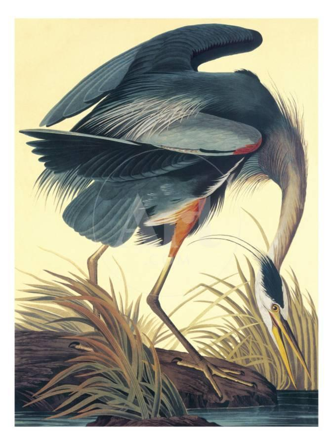 Great Blue Heron Art Print By John James Audubon Art