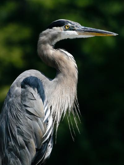 Great Blue Heron-Bill Swindaman-Photographic Print
