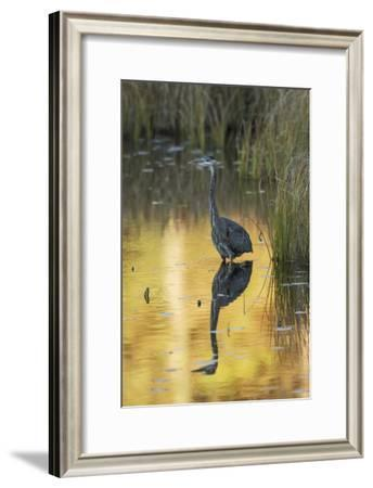 Great Blue Heron--Framed Photographic Print