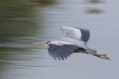 Great Blue Heron-Ken Archer-Photographic Print