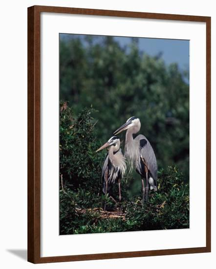 Great Blue Herons in Breeding Plumage at Their Nest, Florida-Charles Sleicher-Framed Photographic Print