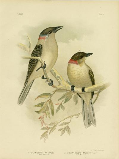Great Bowerbird, 1891-Gracius Broinowski-Giclee Print