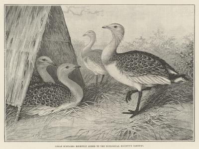 Great Bustards Recently Added to the Zoological Society's Gardens-Alexander Francis Lydon-Giclee Print
