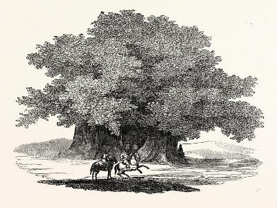 Great Chesnut Tree of Mount Aetna--Giclee Print