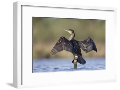 Great Cormorant Female with Wings Outstretched to Dry