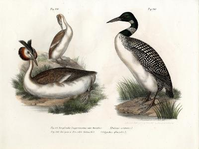 Great Crested Grebe, 1864--Giclee Print