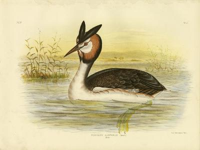 Great Crested Grebe, 1891-Gracius Broinowski-Giclee Print