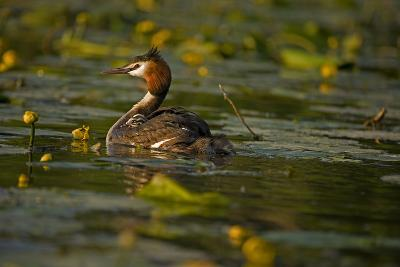 Great Crested Grebe Adult Carrying Young on Back--Photographic Print