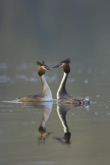 Great Crested Grebe (Podiceps Cristatus) Pair During Courtship Ritual, Derbyshire, UK, March-Andrew Parkinson-Photographic Print