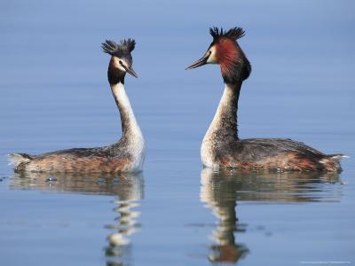 Great-Crested Grebes, Pair Courting, Lake Geneva, Switzerland-Elliot Neep-Photographic Print