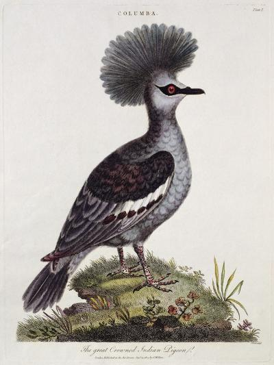 Great Crested Indian Pigeon--Giclee Print