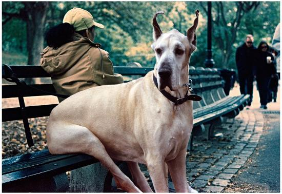 Great Dane on Central Park Bench NYC--Poster