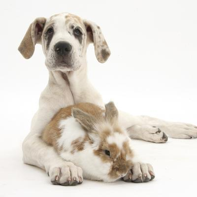 Great Dane Puppy, Tia, 14 Weeks, with Brown and White Rabbit-Mark Taylor-Photographic Print