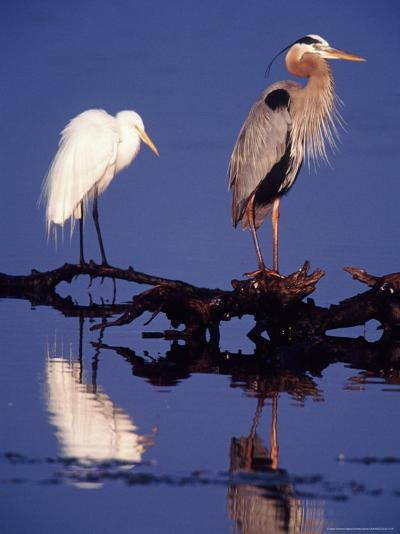 Great Egret and Great Blue Heron on a Log in Morning Light-Charles Sleicher-Photographic Print