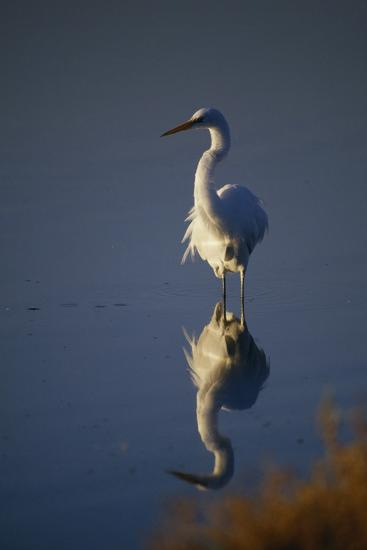 Great Egret and Reflection-DLILLC-Photographic Print
