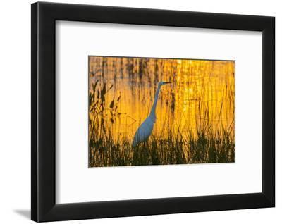 Great egret (Ardea alba) at sunset. Viera Wetlands, Brevard County, Florida.-Richard & Susan Day-Framed Photographic Print
