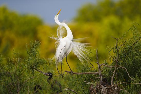Great Egret, Ardea alba, displaying-Larry Ditto-Premium Photographic Print