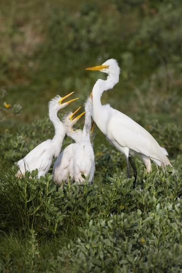 Great Egret, Ardea alba, feeding young-Larry Ditto-Premium Photographic Print