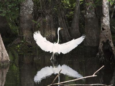 Great Egret (Ardea Alba) in Big Cypress Swamp, Everglades, Florida, USA-John Cornell-Photographic Print