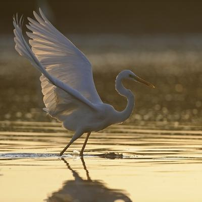 Great Egret (Ardea Alba) Landing on Water, Elbe Biosphere Reserve, Lower Saxony, Germany-Damschen-Photographic Print