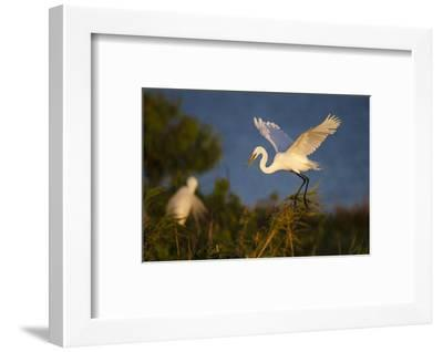 Great Egret (Ardea alba)-Larry Ditto-Framed Photographic Print