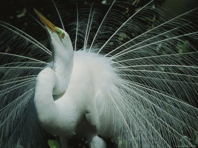 Great Egret, Breeding Display, Florida-Roy Toft-Photographic Print