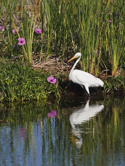 Great Egret, Caddo Lake, Texas, USA-Larry Ditto-Photographic Print