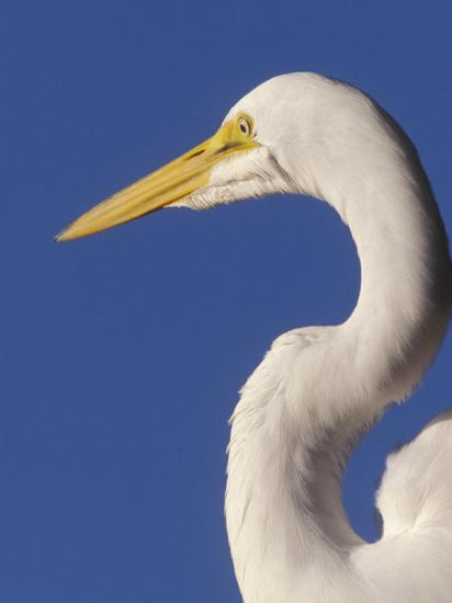 Great Egret, Ft. Myers Beach, Florida-Peter Hawkins-Photographic Print
