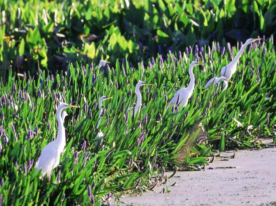 Great Egret, Hunting from Pickerelweed, USA-Stan Osolinski-Photographic Print