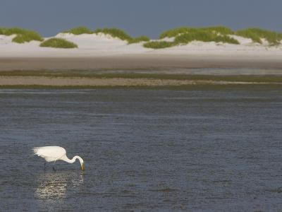 Great Egret Hunting in a Lagoon Behind Coastal Sand Dunes, Ardea Alba, Fort Desoto Park, Florida-Arthur Morris-Photographic Print