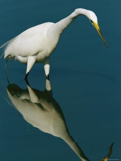 Great Egret Hunting in Calm Water-Tim Laman-Photographic Print