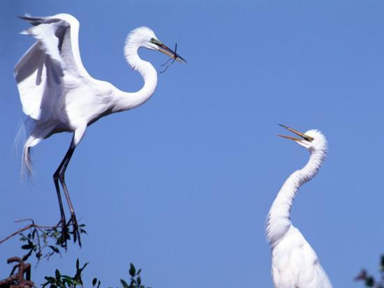 Great Egret in a Courtship Display, Florida, USA-Charles Sleicher-Photographic Print