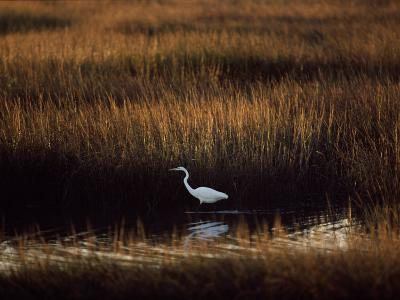 Great Egret in a Marsh--Photographic Print