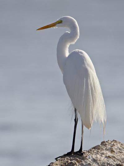 Great Egret in Breeding Plumage, Sonny Bono Salton Sea National Wildlife Refuge, California--Photographic Print