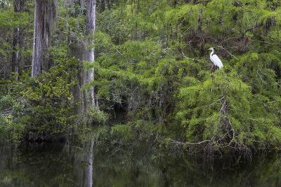 Great Egret in Everglades National Park, Florida, USA-Chuck Haney-Photographic Print