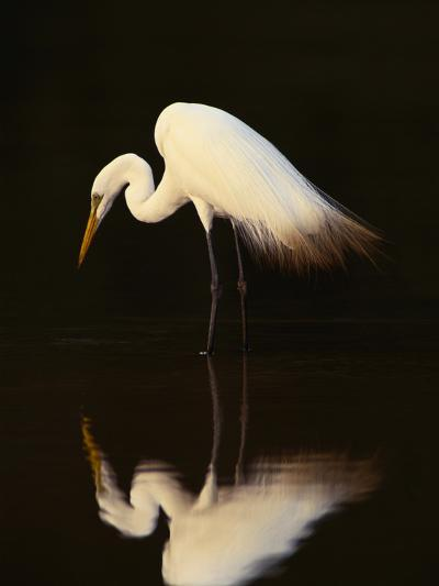 Great Egret in Lagoon, Pantanal, Brazil-Frans Lanting-Photographic Print