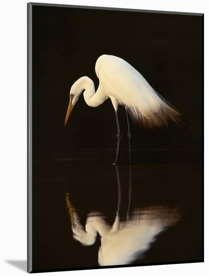 Great Egret in Lagoon, Pantanal, Brazil-Frans Lanting-Mounted Photographic Print