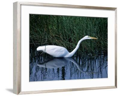 Great Egret in Marsh Water, Everglades National Park, Florida, Usa-Jeff Foott-Framed Photographic Print
