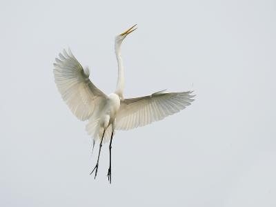 Great Egret Leaping-Arthur Morris-Photographic Print