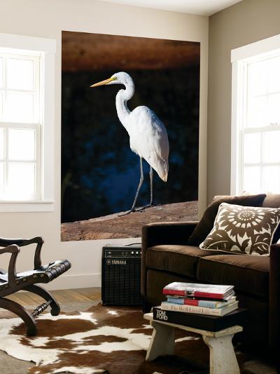 Great Egret on Gibb River-Kerry Lorimer-Giant Art Print