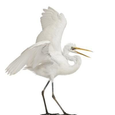 Great Egret or Great White Egret or Common Egret, Ardea Alba, Standing in Front of White Background-Life on White-Photographic Print