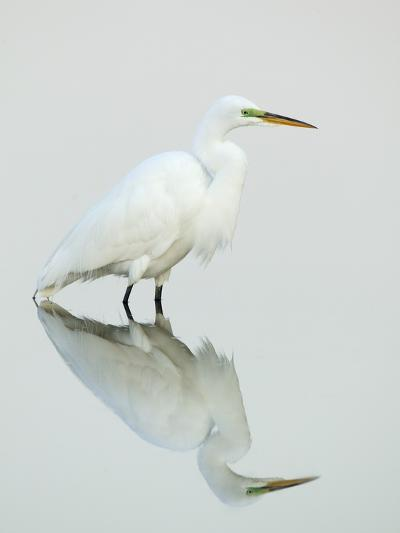 Great Egret Reflected-Arthur Morris-Photographic Print