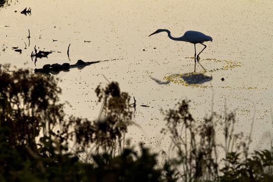 Great Egret Stands Still, It Stalks Dinner, Marshes Of Blackwater Wildlife Refuge, Cambridge, MD-Karine Aigner-Photographic Print
